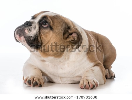 english bulldog puppy laying down looking up on white background