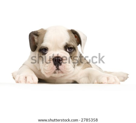 english Bulldog puppy lying down in front of white background and looking at the camera - stock photo