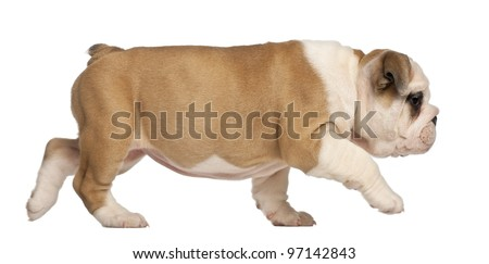 English Bulldog puppy, 2 months old