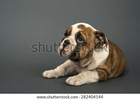 English Bulldog puppy , 3 months old lying on gray background and looking  left - text space to the left. - stock photo