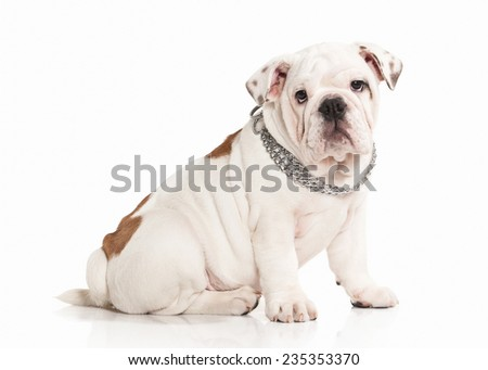 English bulldog puppy on white background - stock photo