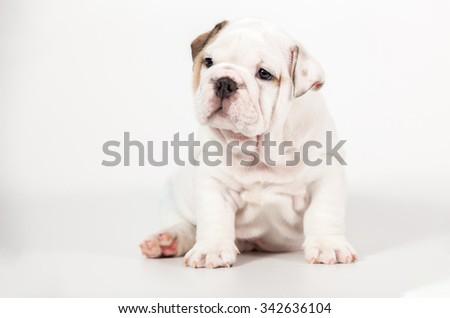 ENGLISH Bulldog puppy on white background - stock photo