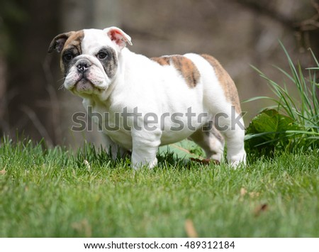 english bulldog puppy outside in the grass looking at viewer