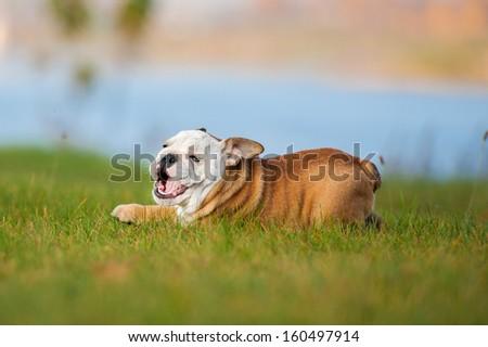 English bulldog puppy playing on the lawn - stock photo