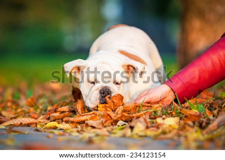 English bulldog puppy playing with a hand in the park in autumn - stock photo