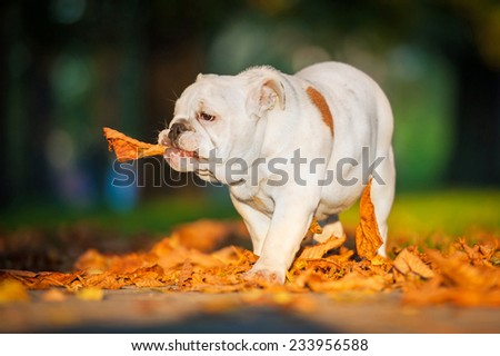English bulldog puppy playing with a leaf in the park in autumn - stock photo