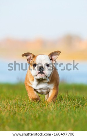 English bulldog puppy running - stock photo