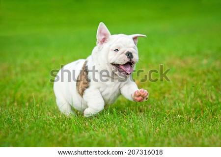 English bulldog puppy running  - stock photo