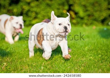 English bulldog puppy running on the lawn - stock photo