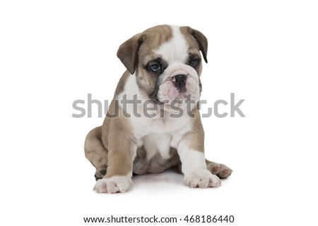 English Bulldog puppy sitting and looking forward isolated on white background