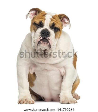 English Bulldog puppy sitting, 4 months old, isolated on white