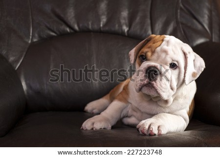 English bulldog puppy sitting on black leather sofa. - stock photo