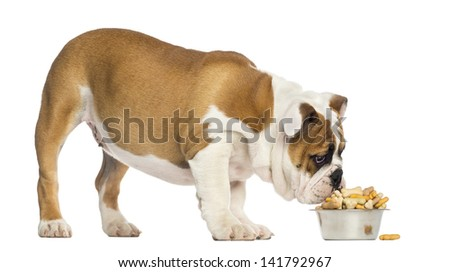 English Bulldog puppy standing, eating from a bowl full of biscuits, 4 months old, isolated on white