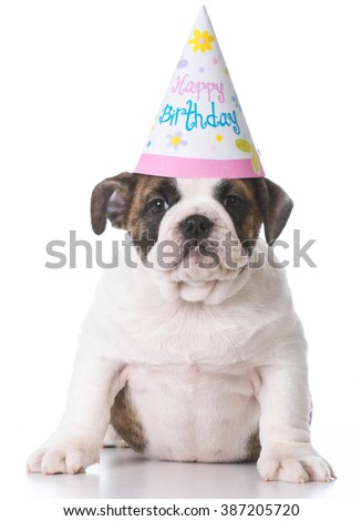 english bulldog puppy wearing a birthday party hat on white background