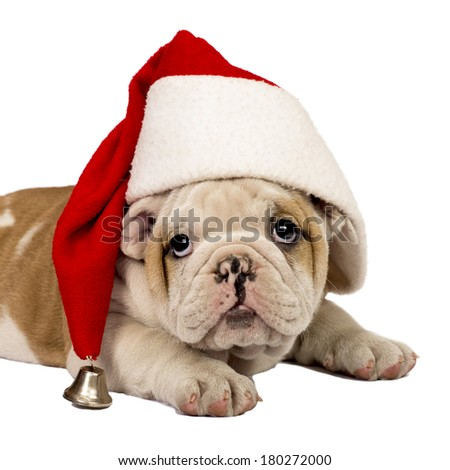 English bulldog puppy wearing a santa hat. Isolated on white. - stock photo