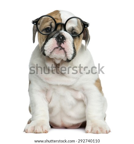 English bulldog puppy wearing glasses in front of white background - stock photo