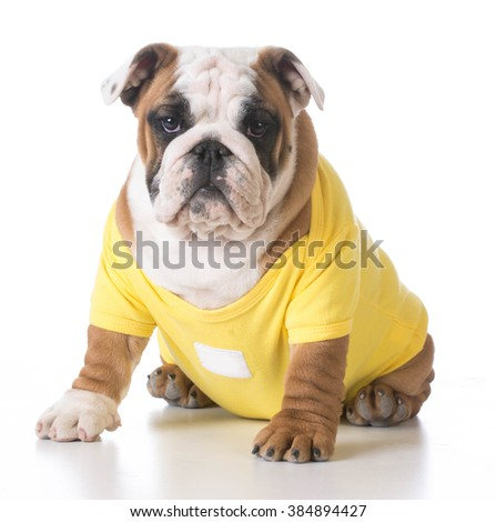 english bulldog puppy wearing yellow sweater on white background