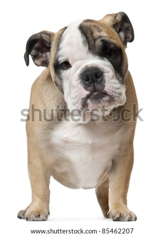 English Bulldog puppy, 11 weeks old, standing in front of white background