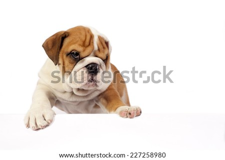 English bulldog puppy with paws on a message board  - stock photo