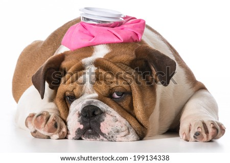 english bulldog puppy with pink water bottle on head on white background - stock photo