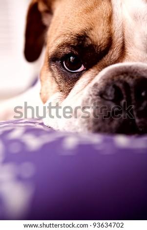 English Bulldog resting on a lilac bed looking at the camera - stock photo