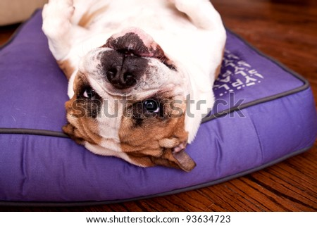 English Bulldog resting on a lilac bed upside down looking at the camera