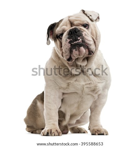 English Bulldog sitting and looking at the camera, isolated on white