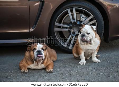 English bulldog sitting in the street near a car - stock photo