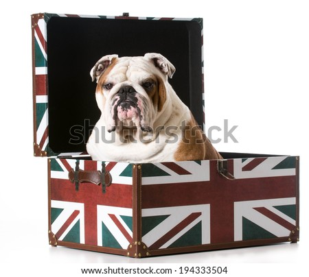 english bulldog sitting inside a british flag trunk - stock photo