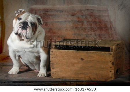 english bulldog sitting looking at viewer - 4 year old male - stock photo