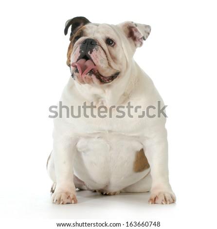 english bulldog sitting - one year old - stock photo