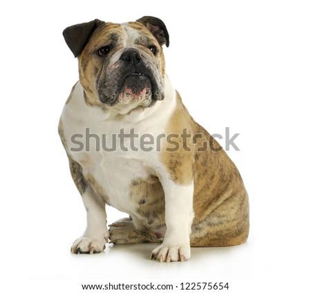 english bulldog sitting with reflection on white backgroundn- female - stock photo