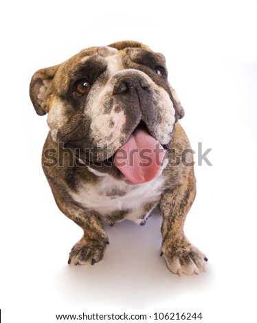 English Bulldog smiling with tongue out isolated on white - stock photo