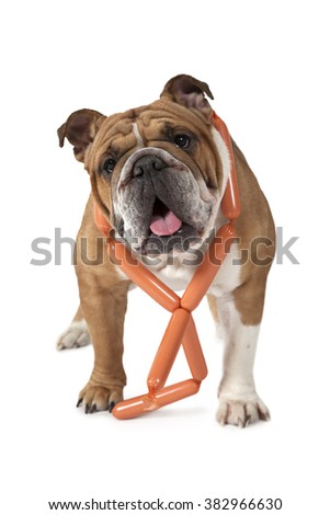 English Bulldog standing against a white background with a bunch of sausages around her neck