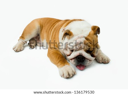 English bulldog tired and sleeps