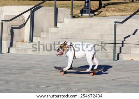 English bulldog to skateboard with his tongue hanging out - stock photo
