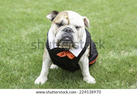 English Bulldog tuxedo, detail of a pet dog wearing suit and bow tie, funny animal - stock photo