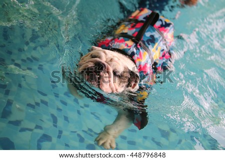 English bulldog wear colorful military pattern life jacket swim in swimming pool, dog swimming, dog activity