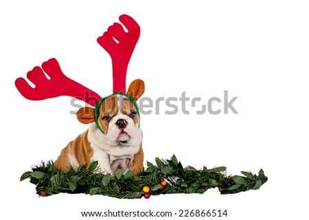 English bulldog wearing antler, funny expression.