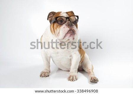 English Bulldog wearing glasses for vision. Studio photography on a light gray (white) background. - stock photo