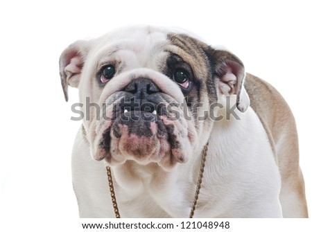 English Bulldog wearing necklace standing over white background, eye contact