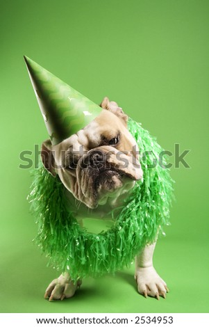English bulldog with curious expression wearing lei and party hat and sitting on green background. - stock photo