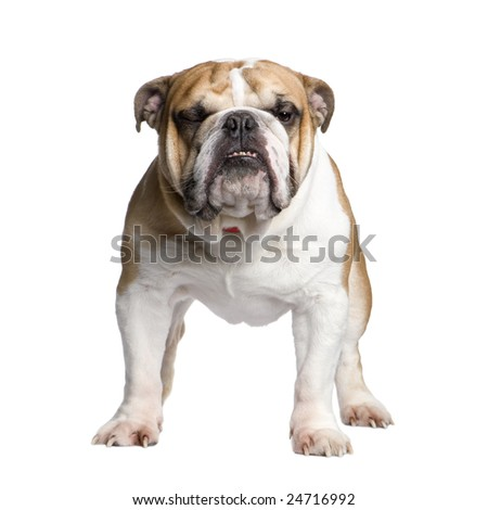 english Bulldog (3 years) in front of a white background - stock photo