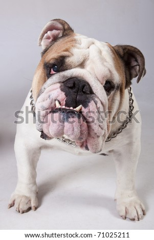 English Bulldog, 2 years old, standing in front