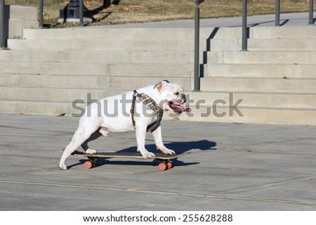 English Bulldog yourself riding on the board - stock photo