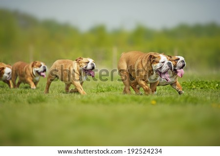 English Bulldogs dogs puppies laying on the grass outdoors