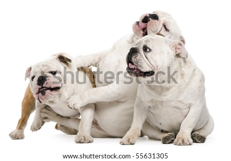 English bulldogs sitting against white background
