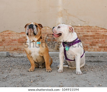 English Bulldogs, sitting in front of a building - stock photo
