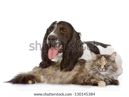 English Cocker Spaniel dog and cat. isolated on white background