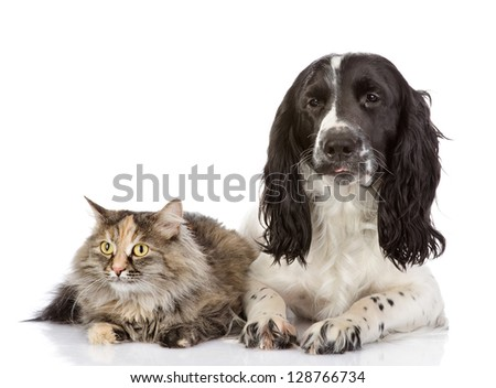 English Cocker Spaniel dog and cat lie together. looking at camera. isolated on white background - stock photo